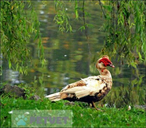 How to Take care of Ducks, Habit, and Classifications