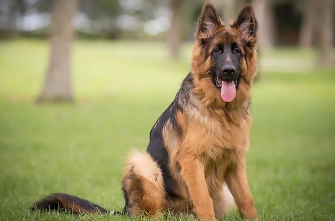 German Shepherd Training.