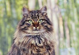 siberian-cat-breed-characteristics-and-facts