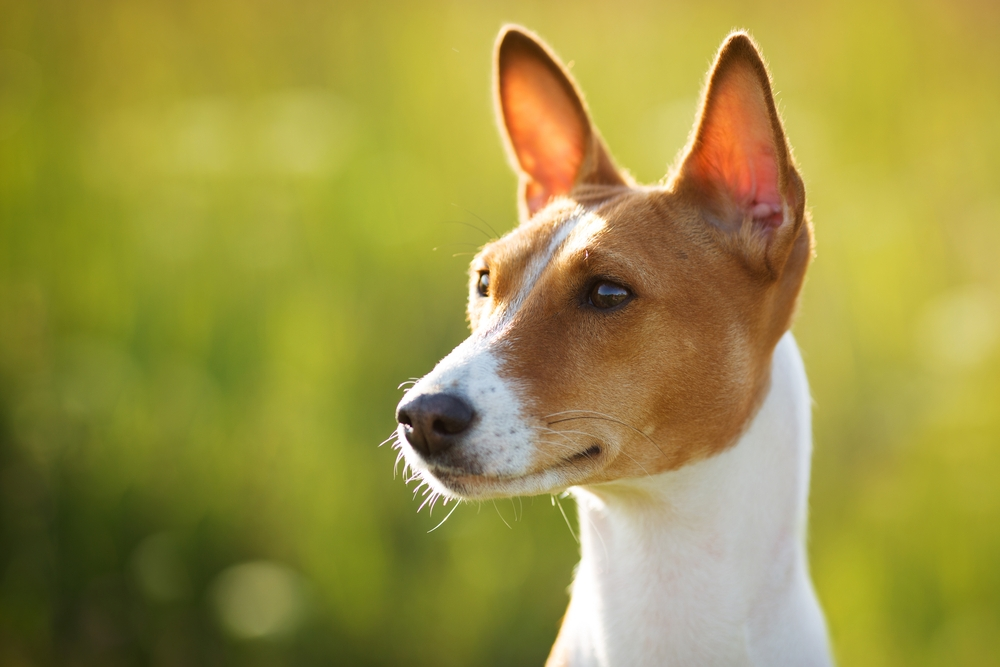 focus on dog's ear to communicate properly