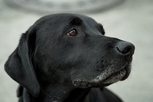 Fact-Characteristics-and-unique features-of-Labrador-retriever