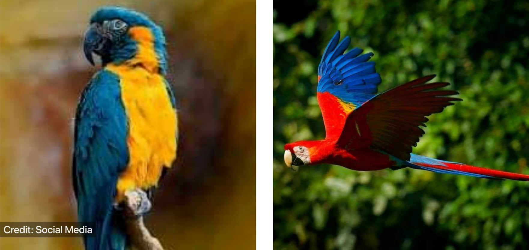 Blue-throated and Scarlet macaw