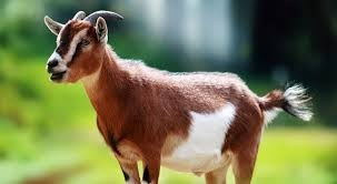 goat-animals