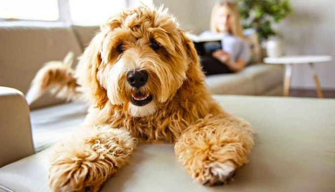 Labradoodle – Their Lifespan And Personality Facts