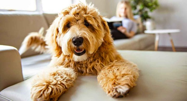 All-about-Labradoodle