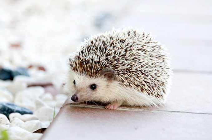 Are Hedgehogs Good As A Pet?