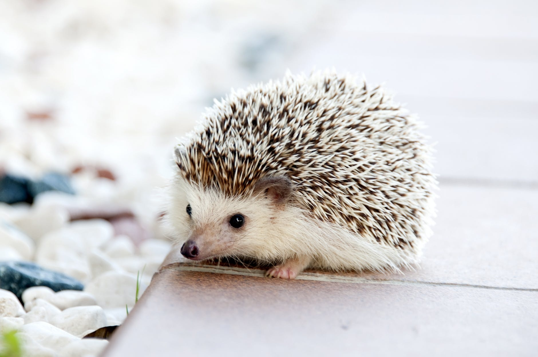 Are-Hedgehogs-good-as-a-pet