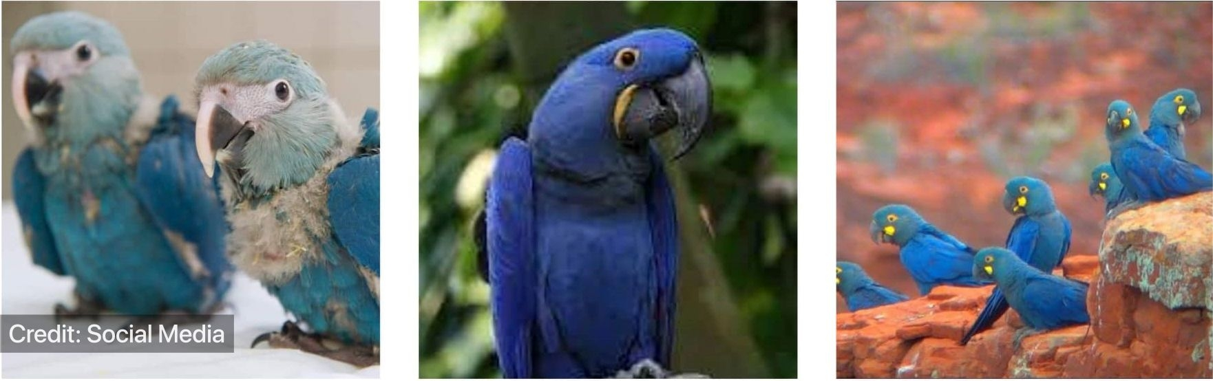 Glaucous.Hyacinth and Lear's macaw