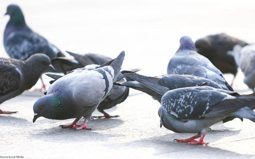 Pigeon - Food
