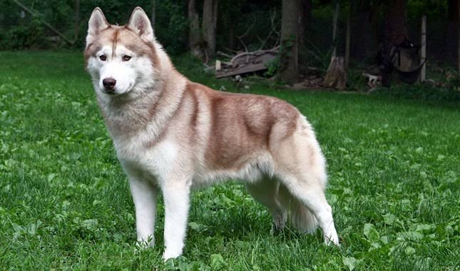 Siberian - Husky- Mix -breed Petvet.social