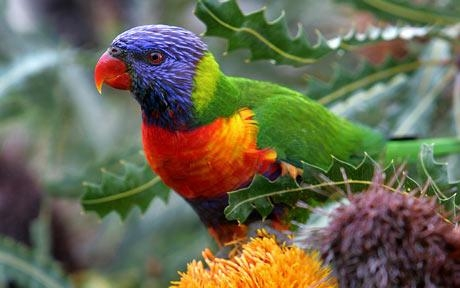 Types-of -Parrots-in-South -Australia