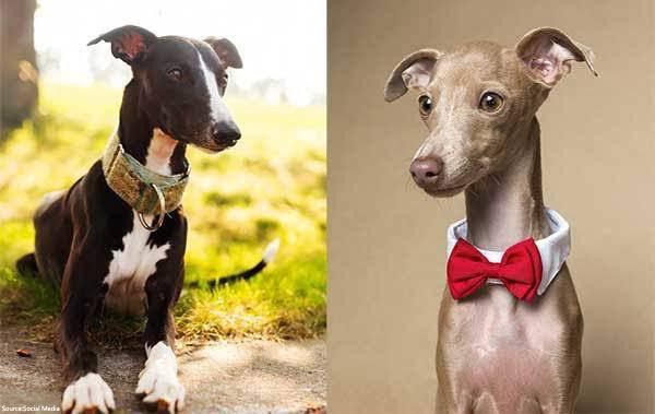 Whippet-dog-breed-vs-italian-greyhound-1