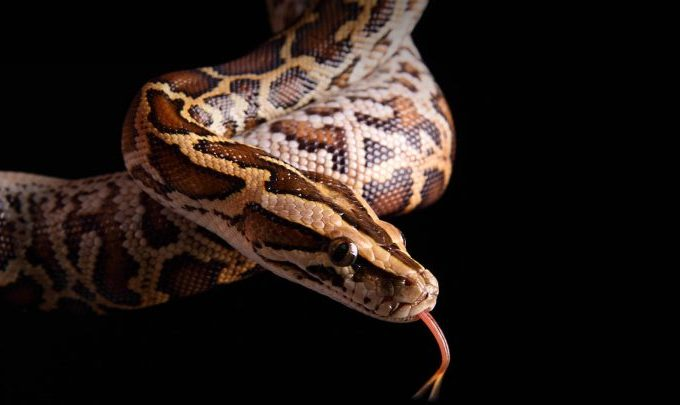 Python: The giant snake can even eat a man