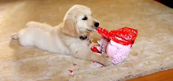 Dog unwrapping a present