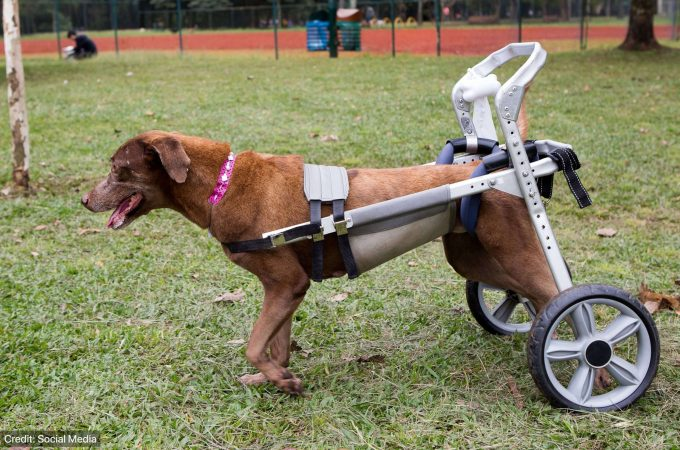 Use Of Prosthetic Limb For A Disabled Dog