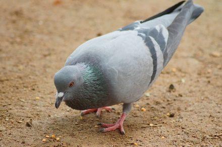Pigeon-food