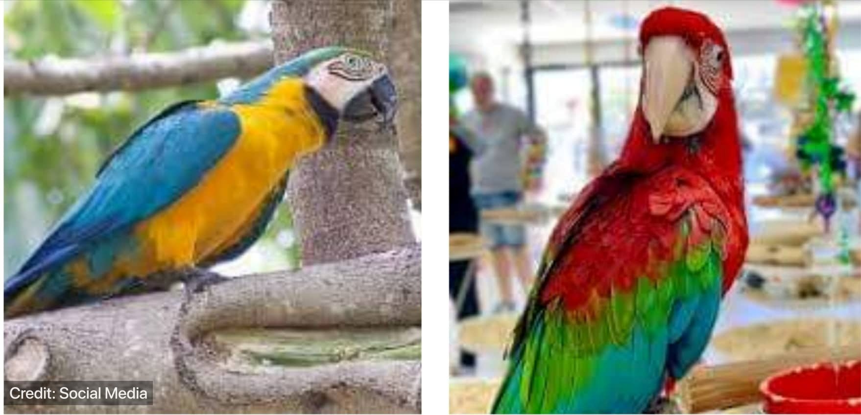 Blue-and-yellow and Green-winged macaw