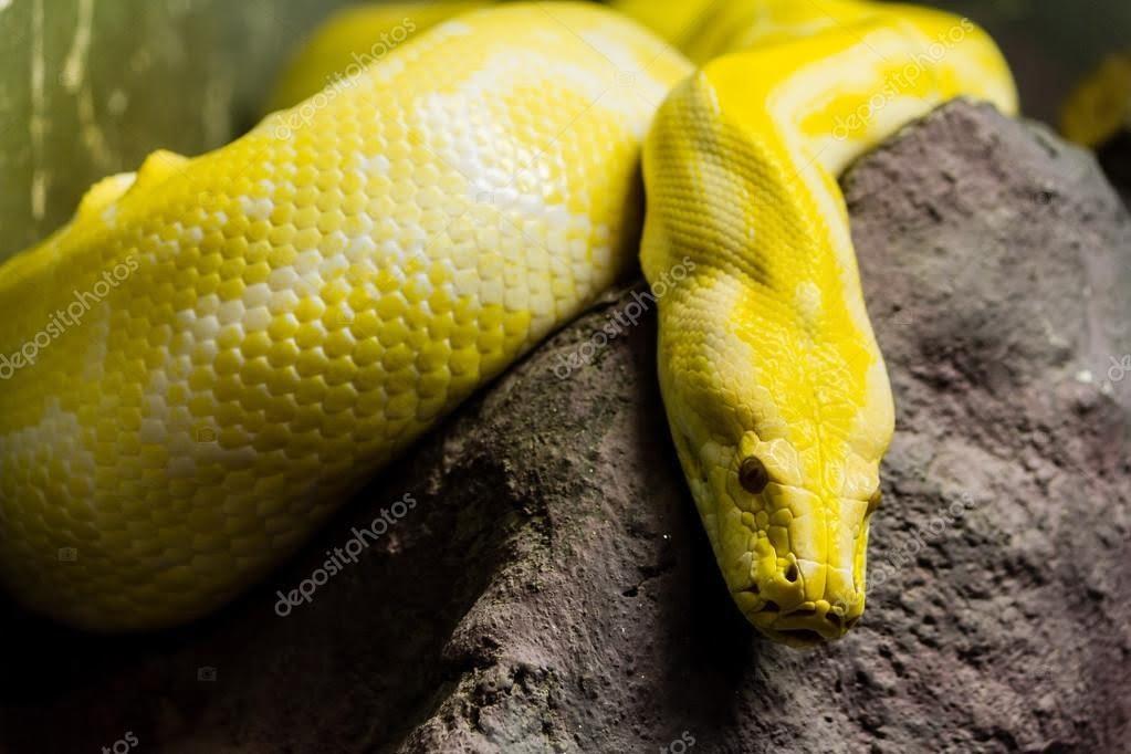Golden-Python