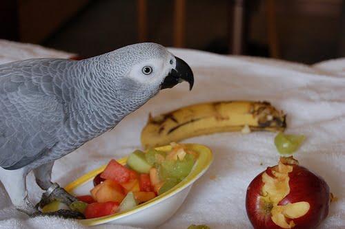 African Grey Parrots diet