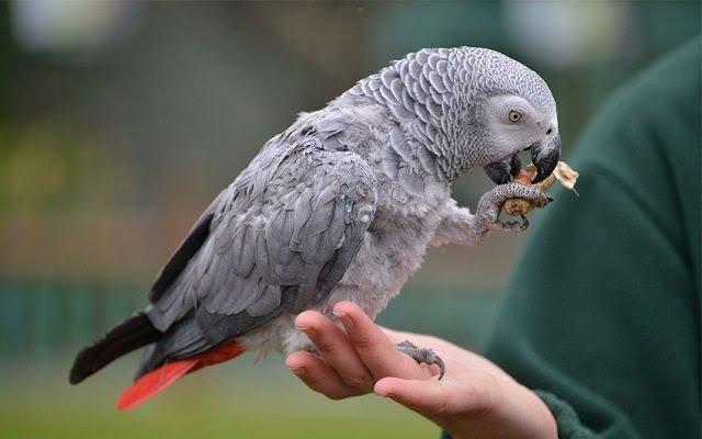 African - Grey - Parrots