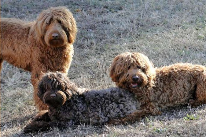Australian Vs American Labradoodle – Their Personality Facts