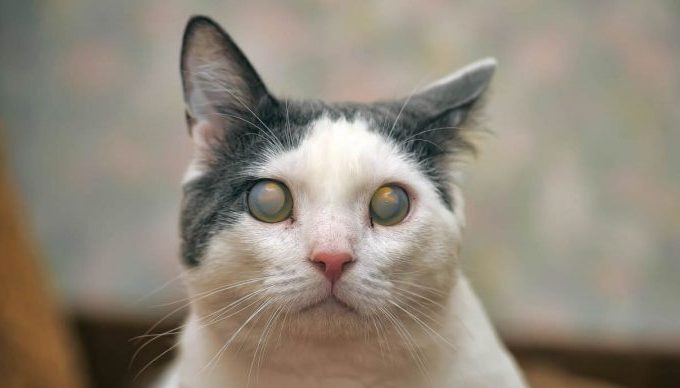 What Causes Sudden Blindness In Cats Due To Eye Infections?