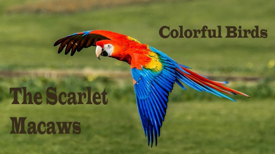 Colorful - Birds - Scarlet - Macaws
