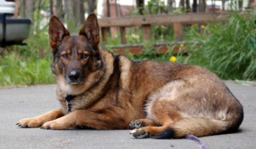 German-Shepherd-Husky-Mix-Some-Facts-about-Gerberian-Shepsky