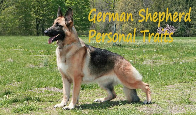 German -Shepherd - Husky -Mix