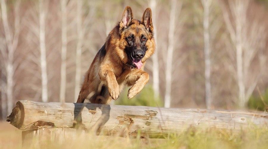 German - shepherd - Husky -Mix