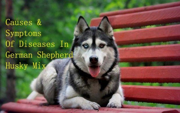 German Shepherd Husky Mix – Symptoms & Causes Of Different Diseases