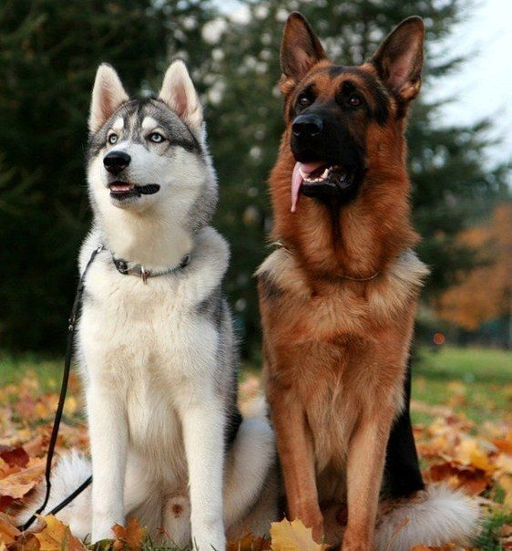 Difference-between-German-Shepherd-and-Siberian-Husky-Mix