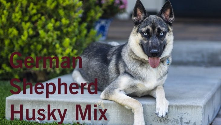 German - Shepherd - Husky -Mix