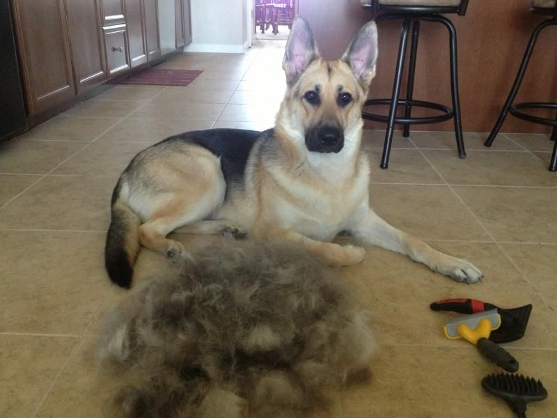 German-Shepherd-hair-shedding
