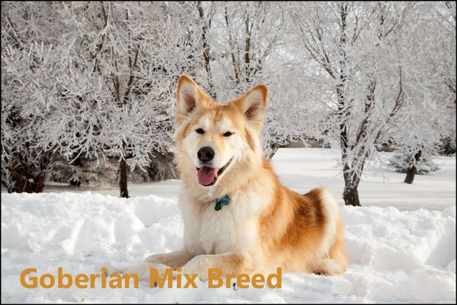 Goberian breed