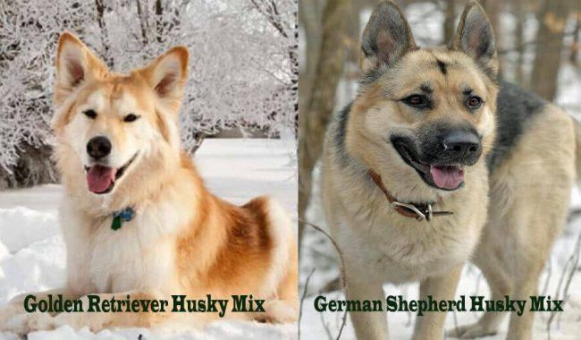 Golden Retriever And German Shepherd Husky Mix – An In-depth Review