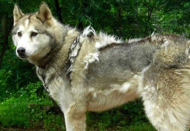 German Shepherd Husky Mix-Hair Shedding Causes And Treatments