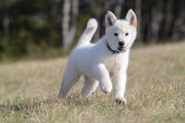 German - Shepherd - Husky - mix -Puppies