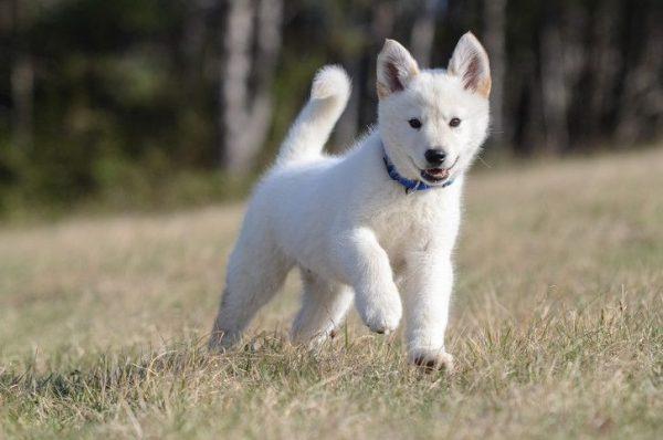 German - Shepherd - Husky - mix -Puppies