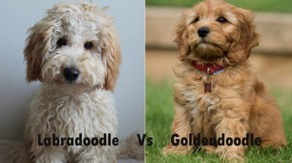 Labradoodle - Puppies