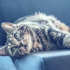 How Vestibular Disease In Cats  Affects Cat Health?