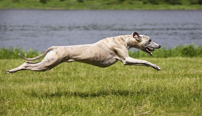 Whippet- Dog -Breed