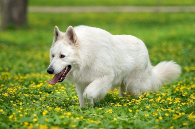White German Shepherd Husky-Things To Know Before You Buy