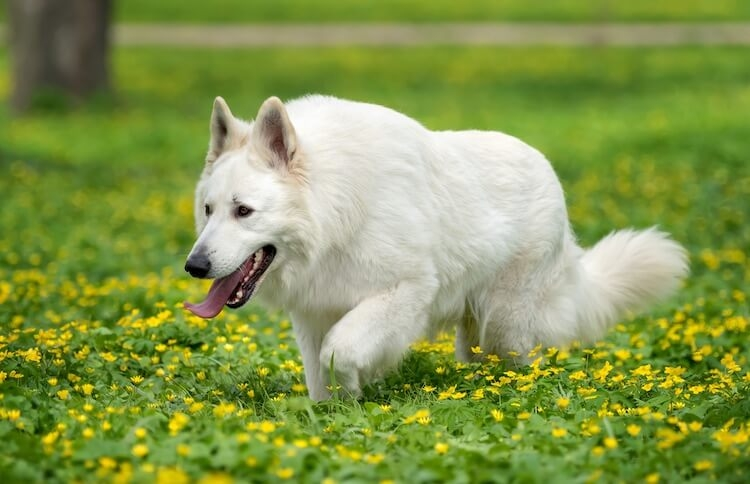 White - German - Shepherd - Husky -Mix