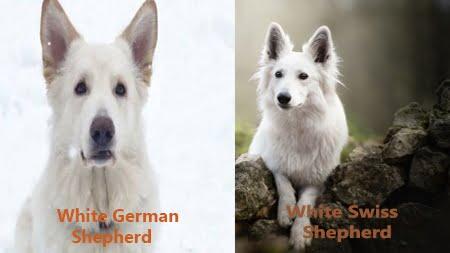 White - German -Shepherd - Husky -Mix