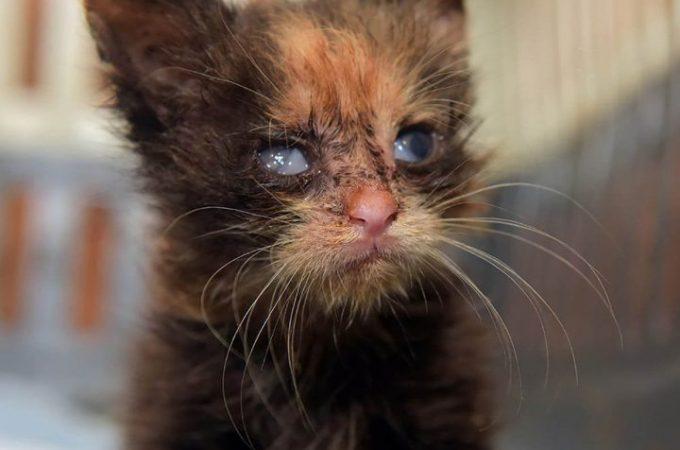 How To Prevent Feline Viral Rhinotracheitis In Cats(Herpesvirus infection)?