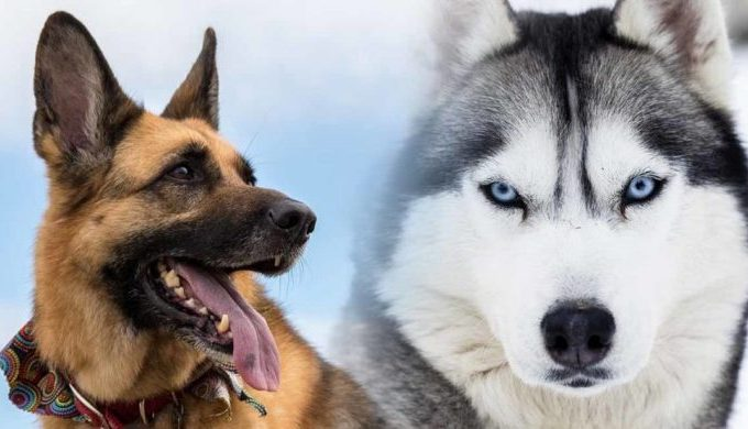 Facts You Need To Know About German Shepherd And Husky Mix Before You Take One