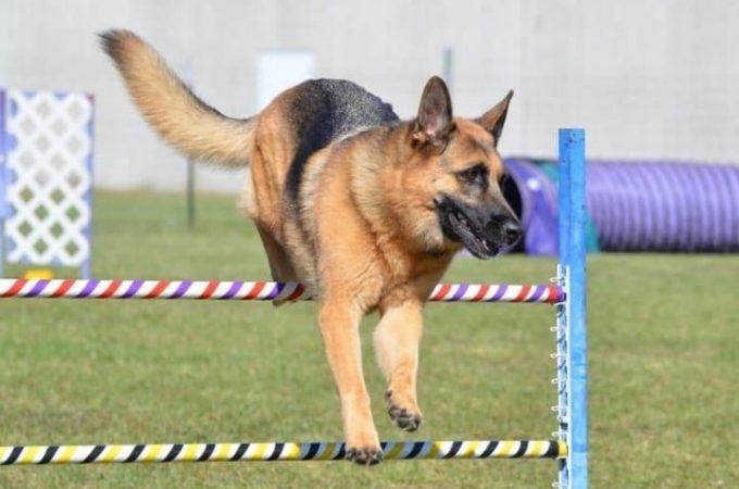 Why German Shepherd Husky Mix Needs Mental Simulation Activities?