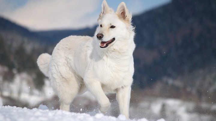 White-German-Shepherd-Dogs