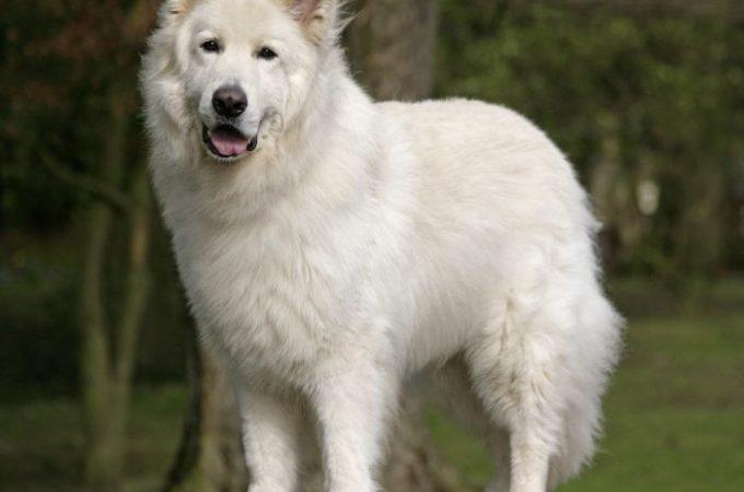 Popular Questions Regarding The White German Shepherd